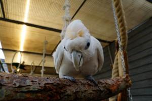 Kakadu solomońska